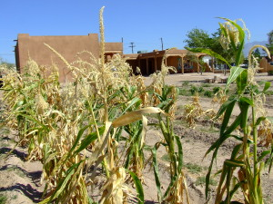 5IPCC Seasons of Growth Corn (Credit - IPCC)